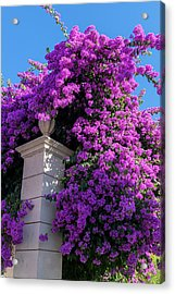 Portugal, Pinhao, Bougainvillea (large Acrylic Print by Jim Engelbrecht
