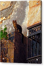 Portuguese Tabby Enjoying The Evening Sun Acrylic Print by Menega Sabidussi