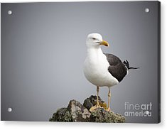 Posed Gull Acrylic Print by Anne Gilbert