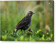 Posing Bird Acrylic Print