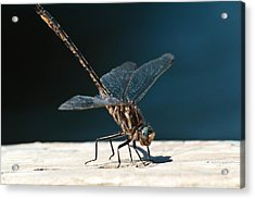 Posing Dragonfly Acrylic Print