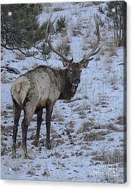 Elk Bull In Wind Cave National Park Acrylic Print
