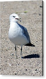 Acrylic Print featuring the photograph Posing Gull by Debbie Hart