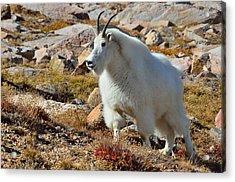 Posing Mountain Goat Acrylic Print