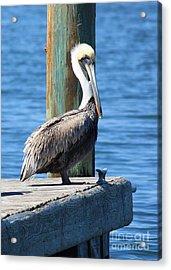 Posing Pelican Acrylic Print