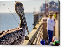 Acrylic Print featuring the photograph Posing Pelican by Robert  Aycock