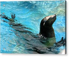 Acrylic Print featuring the photograph Posing Sea Lion by Kristine Merc