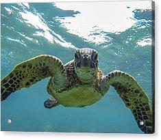 Posing Sea Turtle Acrylic Print by Brad Scott