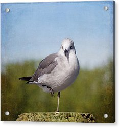 Posing Seagull Acrylic Print by Kim Hojnacki