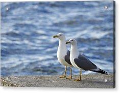 Posing Seagulls Acrylic Print
