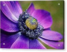 Positively Purple Acrylic Print