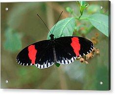 Postman Butterfly Acrylic Print by Nigel Downer