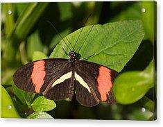 Postman Butterfly Acrylic Print by Sandy Molinaro