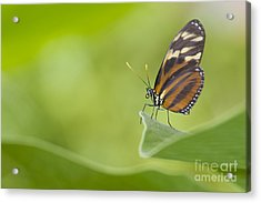 Acrylic Print featuring the photograph Postman On A Leaf by Bryan Keil