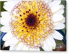 Pot Marigold Citrus Smoothies Acrylic Print