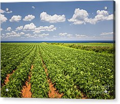 Potato Field In Prince Edward Island Acrylic Print by Elena Elisseeva