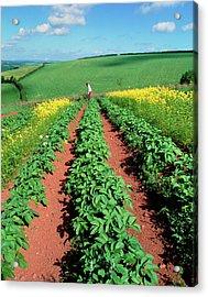 Potato Plants Flanked By Mustard On Organic Farm Acrylic Print by Martin Bond/science Photo Library