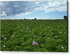Potatoe Field At Ardmore, County Acrylic Print
