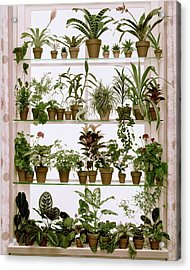 Potted Plants On Shelves Acrylic Print by Wiliam Grigsby