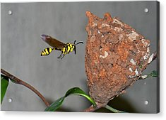 Potter Wasp With Nest Acrylic Print by K Jayaram