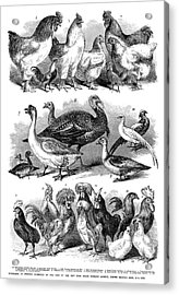 Poultry, 1869 Acrylic Print by Granger
