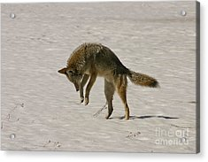 Acrylic Print featuring the photograph Pouncing Coyote by Mitch Shindelbower