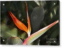 Pouring Out The Oil Acrylic Print by Beverly Guilliams