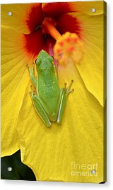 Powdered Frog  Acrylic Print by Kathy Gibbons