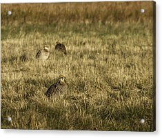 Prairie Chickens After The Boom Acrylic Print