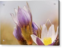 Acrylic Print featuring the photograph Prairie Crocus by Trever Miller
