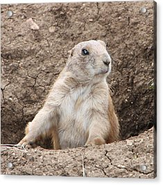 Acrylic Print featuring the photograph Prairie Dog by Elizabeth Lock