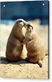 Prairie Dogs Kissing Acrylic Print