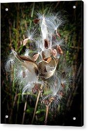 Prairie Milkweed Acrylic Print