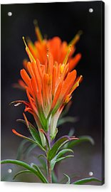 Prairie Paintbrush Flower Acrylic Print