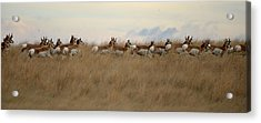 Prairie Pronghorns Acrylic Print