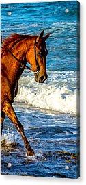 Prancing In The Sea Acrylic Print by Shannon Harrington