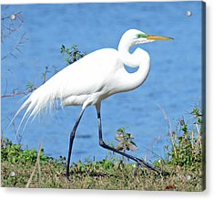 Prancing Acrylic Print by Julie Cameron