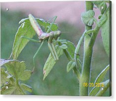 Acrylic Print featuring the photograph Praying Mantis by Belinda Lee