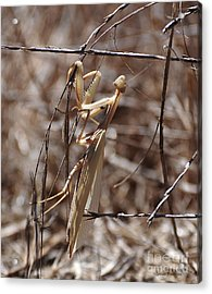 Praying Mantis Blending In Acrylic Print