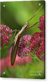 Praying Mantis Climbing Up Sedium Flower Acrylic Print by Inspired Nature Photography Fine Art Photography