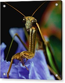 Praying Mantis  Closeup Portrait 3  On Iris Flower Acrylic Print by Leslie Crotty