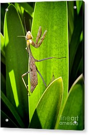Acrylic Print featuring the photograph Praying Mantis by Kasia Bitner