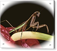 Praying Mantis Taking A Walk On The Anthurium Flower With A White Mat Finish Acrylic Print by Leslie Crotty