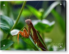 Acrylic Print featuring the photograph Praying Mantis by Thomas Woolworth