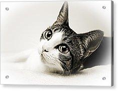 Precious Kitty Acrylic Print
