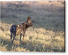 Acrylic Print featuring the photograph Pregnant African Wild Dog by Liz Leyden