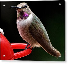 Acrylic Print featuring the photograph Pregnant Female Caliope With Purple Throat by Jay Milo