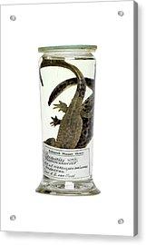 Preserved Newts Acrylic Print