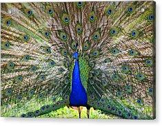 Pretty As A Peacock Acrylic Print by Tony  Colvin