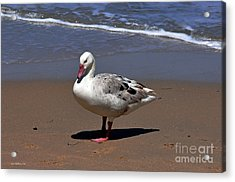 Pretty Duck Posing On Monterey Beach Acrylic Print
